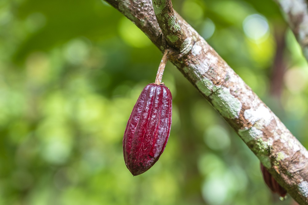 Red cocoa bean on the tree in Indonesia, close up