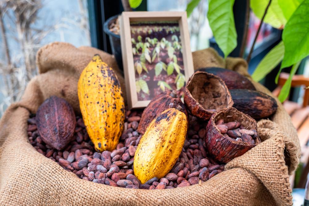Выращивание какао-бобов