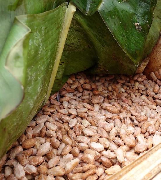Ферментация какао-бобов